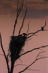 Home For The Evening (Larry E. Anderson) Tags: baldeagle haliaeetusleucocephalus minnesota sherburnentlwildliferefuge aerie bird birdofprey nest raptor seasons silhouette sky spring trees