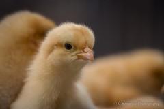Most wanted! (K.Yemenjian Photography) Tags: babychick chick chicken closeup macro macromondays animal beautyofnature nature beautiful yellow canon bird birds mostwanted
