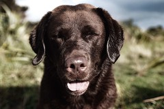 Happiness (Buck777) Tags: fuji pet contentment content happiness dog chocolate labrador