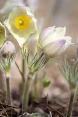 Beauty Flowers (Indigo_Flow) Tags: macro closeup nature flowers floral spring bokeh siberia fresh