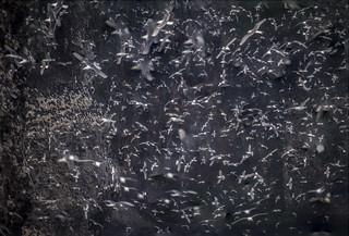 fine art impression of mass of seabirds flying between cliffs of RSPB Fowlsheugh - made from 9 exposures stacked - near Stonehaven, Aberdeenshire, Scotland