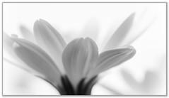 Daisy (Ken Mickel) Tags: africandaisy beautiful floral flower flowers flowersplants kenmickelphotography plants blackandwhite blossom botanical closeup daisy flora nature osteospermum photography upclose