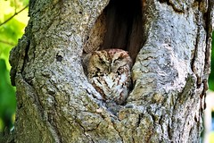 Eastern Screech Owl (Otus asio)rufous morph (WestieDancer) Tags: screech owl outdoors tree