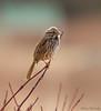 Song Sparrow (Melissa M McCarthy) Tags: songsparrow sparrow bird animal nature wildlife portrait perched neutral cute spring stjohns newfoundland canada canon7dmarkii canon100400isii songbird bokeh