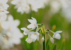 White narcissus (keiko*has) Tags: 7dwf friday flora makemesmile white green 白水仙