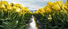 Yellow (Darrell Wyatt) Tags: tulip yellow water reflection woodland mud