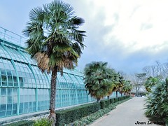 Jardin des serres d'Auteuil - Palmarium (JeanLemieux91) Tags: palm trees palmiers palmeras trachycarpus fortunei serre greenhouse jardin garden auteuil paris îledefrance france mars march marzo hiver winter invierno 2017