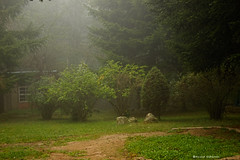 2513  Sta. Fe del Montseny con niebla, Barcelona (Ricard Gabarrús) Tags: niebla natura paisaje bosque parque boira olympus naturaleza ricgaba jardin fog ricardgabarrus
