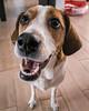 So we are going to the park? (gerlos) Tags: doglikemammal estonianhound treeingwalkercoonhound anyvision snout dogcrossbreeds companiondog whiskers beagle americanfoxhound grandanglofrançaistricolore dogbreed dog harrier finnishhound hound englishfoxhound beagleharrier pocketbeagle labels