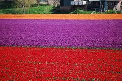 Tulipfields (hub en gerie) Tags: bloemen colours tulips tulipfields bulbfields tulpen tulpenvelden bollenvelden kleuren veld field red rood paars purple orange oranje nature natuur oudetonge goereeoverflakkee flakkee zholland southholland netherlands nederland