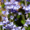 Bluebells close-up 2 (deeceei3) Tags: 2018 softfocus closeup woods bluebells spring flowers canon5dmk2