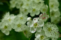 similar but different (nelesch14) Tags: macro nature spring flower blossom white green blur bokeh dof