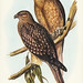 Haliaster sphenurus (Whistling Eagle) Illustrated by Elizabeth Gould (1804–1841) for John Gould's (1804-1881) Birds of Australia (1972 Edition, 8 volumes). One of the most celebrated publications on Ornithology worldwide, Birds of Australia introduced mor