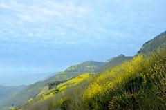 Mustard Blossoms (hecticskeptic) Tags: santabarbara california 101freeway markamorgan mustard spring clouds