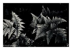 fern (kouji fujiwara) Tags: fern green freshgreen fresh fujifilmxt2 fujifilm xt2 fujinon xf1655mmf28 xf1655mm f28 spring forest backandwhite blackwhite monochrome noir dark