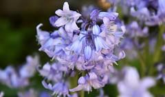 Blue haze. (pstone646) Tags: bluebells flowers bokeh softfocus flora closeup blue nature plants