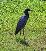 05-11-18-0017171 (Lake Worth) Tags: animal animals bird birds birdwatcher everglades southflorida feathers florida nature outdoor outdoors waterbirds wetlands wildlife wings