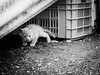 3685 - Giulio (Diego Rosato) Tags: giulio gatto cat pet animale animal giallo yellow bianconero blackwhite fuji x30 rawtherapee