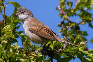 Whitethroat on a Hawthorn Tree