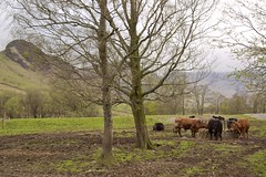 Grazing Cattle (TERRY KEARNEY) Tags: conservationgrazing cattle cows animals trees fields hills hillside foothill mountains mountainside grassland grass lakedistrict cumbria langdalepikes ambleside bowness canoneos1dmarkiv daylight day explore europe england kearney skyline sky landscape nature oneterry outdoor terrykearney tree urban wildlife 2018 animal field road forest