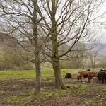 Grazing Cattle thumbnail