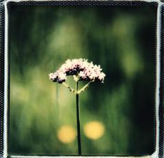 une petite promenade (mariobattaglia) Tags: polaroid polaroidfilm pola sx70 impossible impossibleproject instantfilm istant instantfilmcolor mariobattaglia