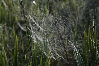 Spinnweben im Südermoor; Bergenhusen, Stapelholm (28)