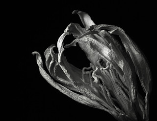 Dried Yucca Blossom
