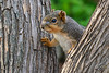 Where's Larissa? (NaturalLight) Tags: foxsquirrel squirrel chisholmcreekpark wichita kansas