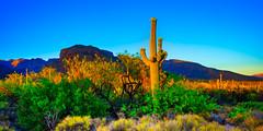 The Cactus At Sunset (Stuart Schaefer Photography) Tags: goldenhour landscape sonyalpha plants mountains sony evening tucson sun sonya7m3 travel outdoor cactus arizona bluesky sunset dusk sky