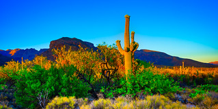 The Cactus At Sunset