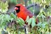Male Northern Cardinal (Anne Ahearne) Tags: wild bird animal nature wildlife maple tree spring red cardinal northerncardinal