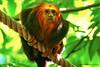 Leontopithecus chrysomelas  ofte      Goudkopleeuwaapje (DirkVandeVelde back , and catching up) Tags: antwerpen anvers antwerp animalia animal europa europ europe belgie belgium belgica belgique buiten biologie mechelen malines malinas muizen mammalia goudkopleeuwaapje zoo zoogdieren leontopithecuschrysomelas chordata planckendael park primates primaten fauna sony