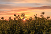 Rapsfeld 3 (Re Ca) Tags: raps fehmarn schleswigholstein ostsee ostholstein ostseeinsel norddeutschland balticsea feld frühling blüte sonnenuntergang sunset goldenhour goldenestunde landscape landschaft
