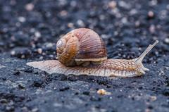 Hey! Look! I'm flat! (ErrorByPixel) Tags: macro snail road stones shell pentax k5