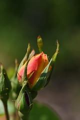 DSC_9990 (PeaTJay) Tags: nikond750 sigma reading lowerearley berkshire macro micro closeups gardens outdoors nature flora fauna plants flowers rose roses rosebuds