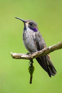 Colibri delphinae / Brown Violet-ear / Colibri Pardo
