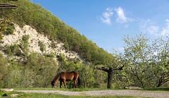 ♞ Gigia,  My Lawnmower Assistant ♞ (Xena*best friend*) Tags: gigia spring woods bluesky horses fields walk fun cheval cavallo cavalo equine piedmontitaly piemonte italy wood wildanimals wild paws animals ©allrightsreserved canoneos760d digitalrebelt6s pet flickr efs18135mmf3556isstm lawnmower