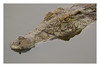 2018 02 02_What lies beneath (Jonnersace) Tags: crocodile crocodylusniloticus reptile dinosaur water eyes motionless stealthy armour reflection nilecrocodile krokodil sunsetdam lowersabie krugernationalpark southafrica hunter predator canon canon7dii canon100400ii wildwingssafaris wild nature watching still