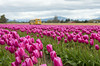 RoozenGaarde Tulip Fields (s.d.sea) Tags: tulips skagit valley tulip festival flowers flower floral grow nature plant plants garden farm field cloudy pnw pacificnorthwest washington washingtonstate mount vernon landscape pentax k5iis colorful roozengaarde spring april travel