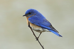 Eastern Bluebird, Brewster 4/30/18 (petertrull) Tags: elements