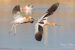 Disagreement among Avocets (TonysTakes) Tags: firestone colorado wildlife bird coloradowildlife americanavocet avocet