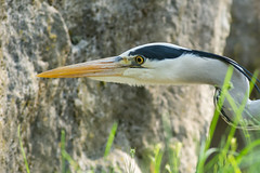 Pfeil (grasso.gino) Tags: tiere animals natur nature zoo zoom gelsenkirchen erlebniswelt alaska nikon d5200 vogel bird reiher heron