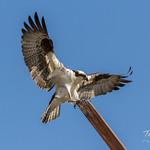 Osprey landing thumbnail