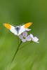 Aurore (Anthocharis cardamines) (aurelien.ebel) Tags: alsace animal anthochariscardamineslinnaeus 1758 aurore basrhin france insecte lawantzenau papillondejour pieridae pierinae rhopalocères