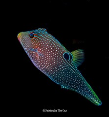 Papuan Toby (ArialUnderTheSea) Tags: scubadiving rajaampat underwaterphotography falseeyedtoby papuantoby toby