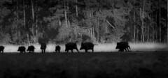 zwijnen vlucht zw (Jolanda N.) Tags: hogeveluwe zwijnen wildboars nature woods zwartwit