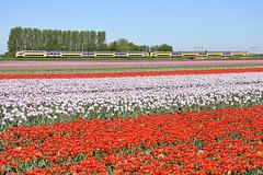 Ten car VIRM train at Lisse, May 6, 2018 (cklx) Tags: tulips bollenstreek spring holland 2018 virm dubbeldekker bileveltrain lisse