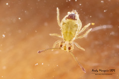 Jordanathrix nr superba (AndyMarquis105) Tags: insect collembola