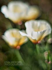 (♡Lynn♡) Tags: p5060036web poppies whitepoppy springflowers bokeh